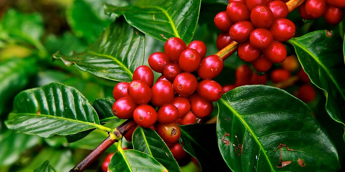 Colombian_coffee_cherry_beans